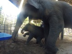 Baby elephant gets in and out of a box.